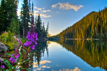 colorado: Beautiful Purple Columbine at Sunrise over Dream Lake in Colorado