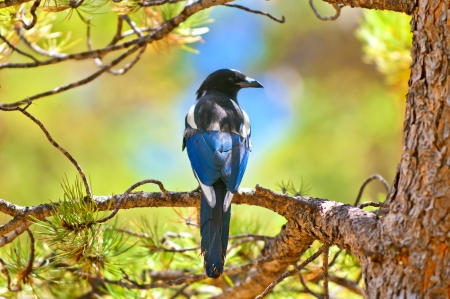 corvidae: Close-up shot of a Magpie Bird Perched on the tree branch Stock Photo