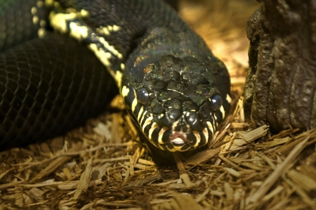 Close-up shot of a black-yellow python snake looking into the camera photo