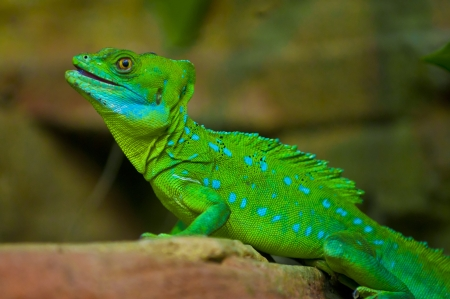 arboreal: Green Crested Basilisk - sitting on the rock