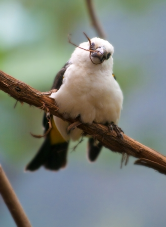 white headed: White Headed Buffalo Weaver holding a piece of straw in its beak. Stock Photo