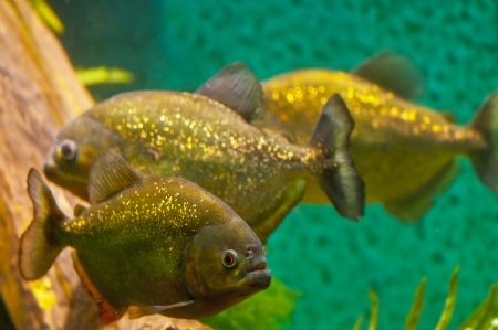 pirana: Three freashwater Piranhas up close in the aquarium Stock Photo