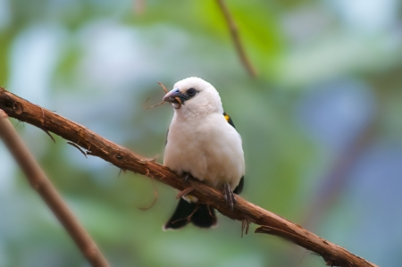 white headed: White Headed Buffalo Weaver perched on the tree branch