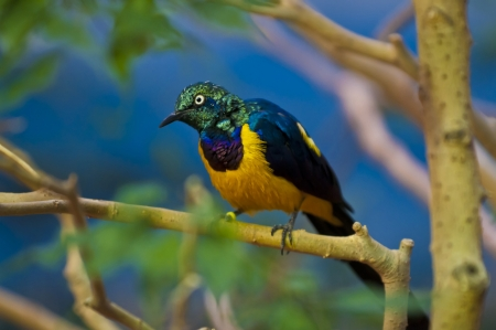 regius: Golden-breasted Starling perched on the tree branch