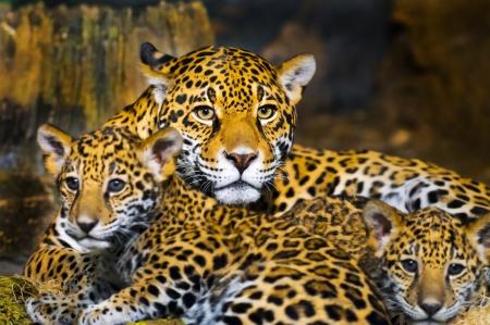 Little Baby Jaguar leker med sin mamma