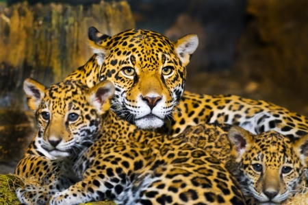 Little Baby Jaguar playing with its mother photo