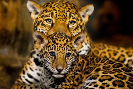 baby animals: Little Baby Jaguar and its mother looking straight into the camera