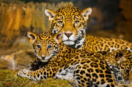fourrure l�opard: Little Baby Jaguar jouant avec sa m�re