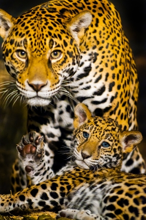 Protective Female Jaguar looking towards the camera while her little cub shows its paw photo