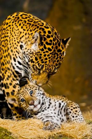jaguar: Adulto Mujer Jaguar lamiendo su joven cachorro Foto de archivo