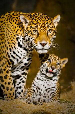 小さな赤ちゃんジャガーその母親と一緒に遊ぶ