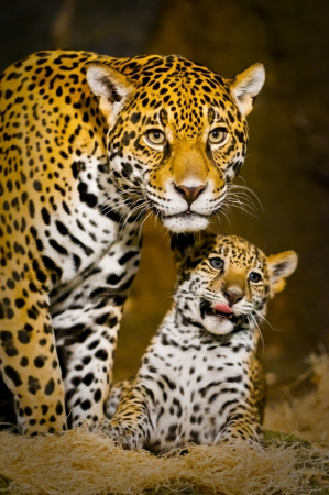 Little Baby Jaguar playing with its mother 스톡 콘텐츠