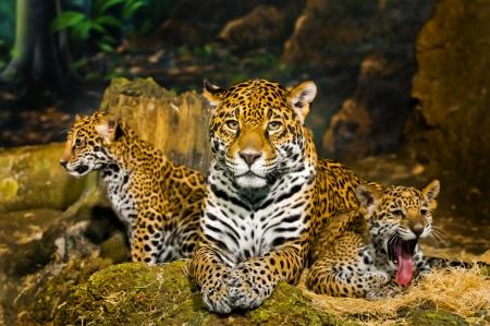 jaguar: Twee kleine Jaguar Cubs Een gapende andere op zoek naar links terwijl moeder kijken recht in de camera Stockfoto