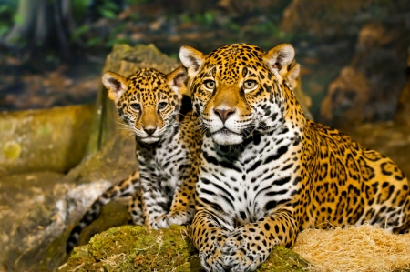 Little Baby Jaguar playing with its mother Stock Photo