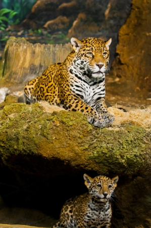 Protective Female Jaguar on top and her little cub on the bottom of the rock photo