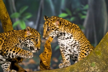 Two little Jaguar Cubs playing with piece of  paper photo