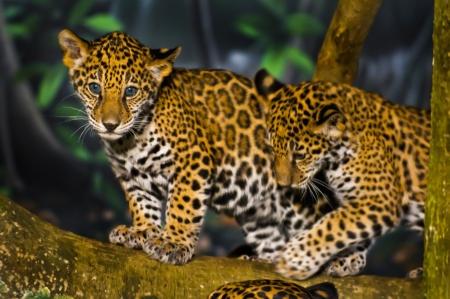 Dos pequeños Jaguar Cubs juegan en la rama de un árbol Foto de archivo