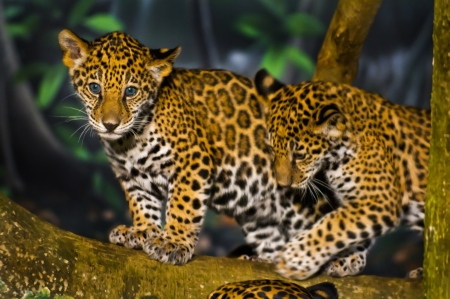 Två lite Jaguar Cubs spelar på trädgren