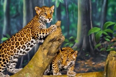 jaguar: Dos pequeños Jaguar Cubs juegan en la rama de un árbol Foto de archivo