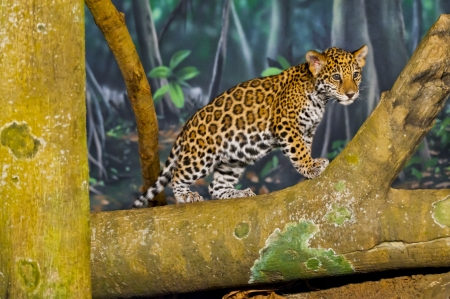 Little Baby Jaguar playing on the tree branch