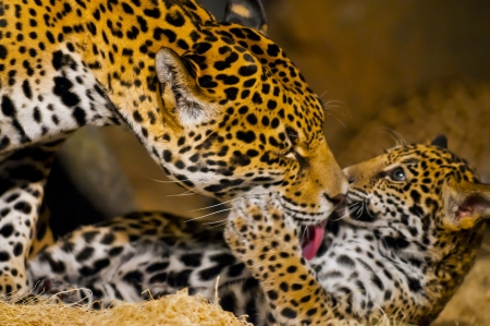 Adult Female Jaguar licking her young cub