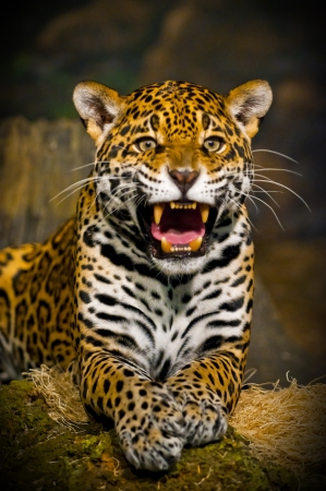 black and white panther: Roaring Adult Female Jaguar looking into the camera