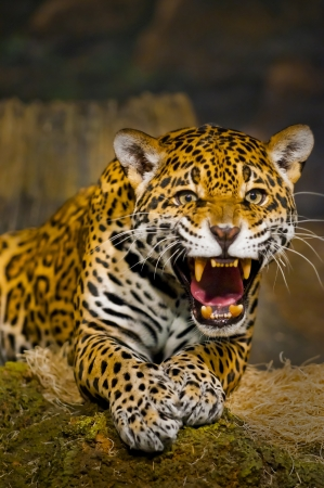Roaring vuxna kvinnliga Jaguar tittar in i kameran