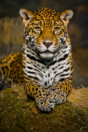 leopard fur: Adult Female Jaguar sitting on the rock looking into the camera Stock Photo