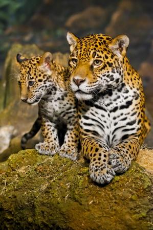 Poco Jaguar Bebé que juega con su madre