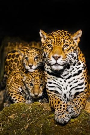 jaguar: Dos peque�os Cachorros de Jaguar y su madre mirando a la c�mara Foto de archivo