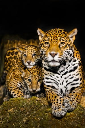 leopard head: Two little Jaguar Cubs and their mother looking into the camera Stock Photo