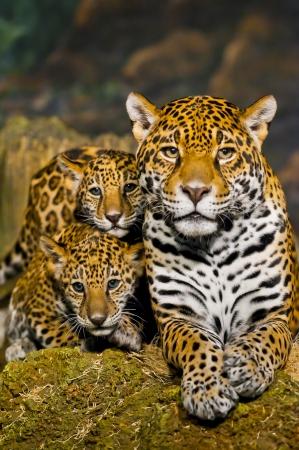 Två lite Jaguar Cubs och deras mor tittar in i kameran