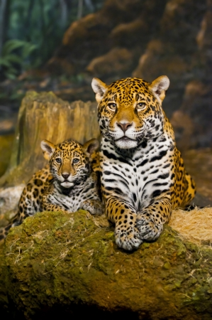 Little Baby Jaguar playing with its mother Stockfoto
