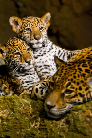 Två lite Jaguar Cubs och deras mor vilar efter en speltid Stockfoto