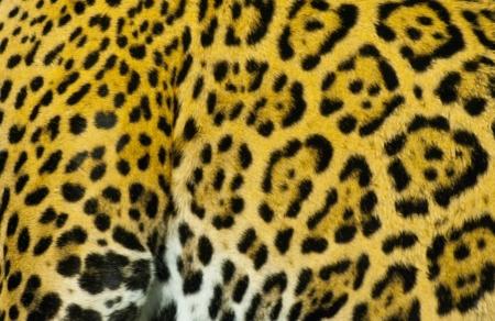 jaguar: Close-up shot de un Jaguar