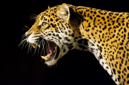 leopard head: Roaring Adult Female Jaguar over black background