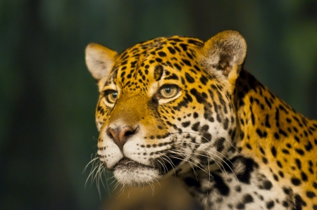 Femelle adulte Jaguar regardant loin de la cam�ra