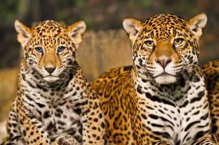 Deux jeunes Jaguar CUB avec leur m�re Banque d'images