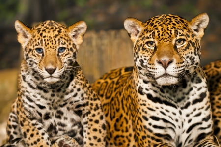 carnivores: Two young Jaguar Cubs with their mother