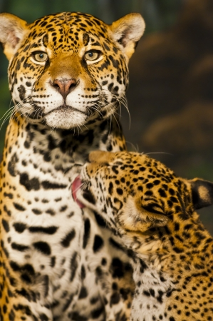 Little Jaguar Cub licking his mother photo