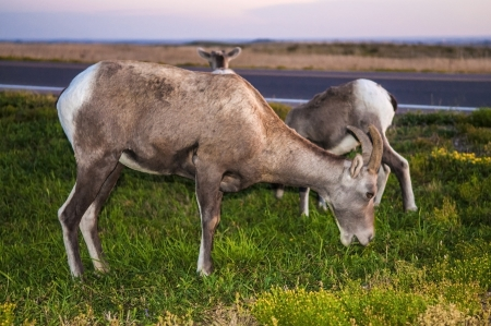 Adult Badlands Bighorn sheep with her young ones  photo