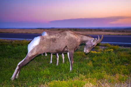 Bighorn Sheep stretching her legs against beautiful morning sky photo