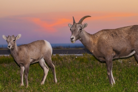 Adult Badlands Bighorn sheep with her young one photo