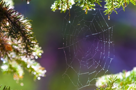 Spider web between pine trees lid by morning light photo