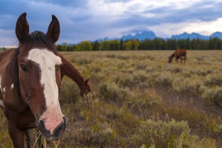 Horses with Grand Tetons Mountains in the Background photo