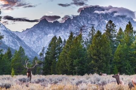 Elk (Cervus canadensis), Grand Teton National Park, Wyoming Stock Photo