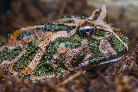 webfoot: Close-up shot of a South American horned frog - Ceratophrys cranwelli