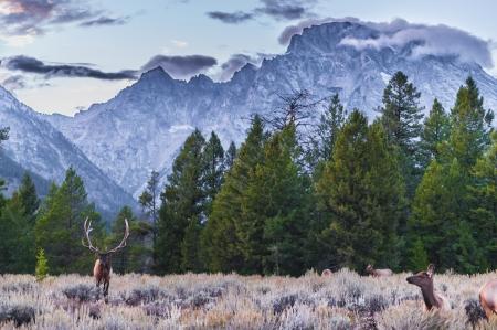 Elk (Cervus canadensis), Grand Teton National Park, Wyoming Banque d'images - 23399616
