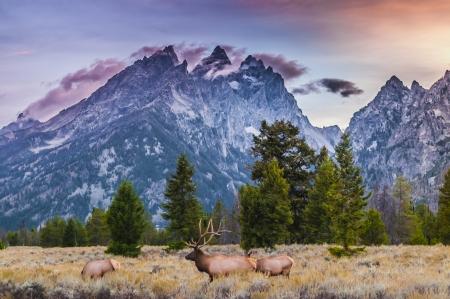 big moose: Elk (Cervus canadensis), Grand Teton National Park, Wyoming Stock Photo