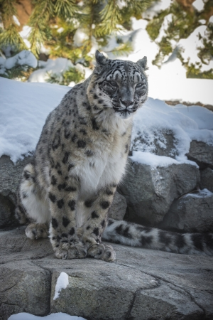 snow leopard: Beautiful snow leopard in the snow covered mountains